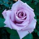 Роза штамбовая чайно-гибридная Блю Парфюм
