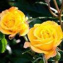 Роза штамбовая флорибунда Голдмари