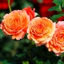 Роза штамбовая шраб Ламбада