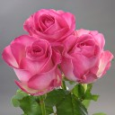 Роза чайно-гибридная Кэнди Аваланж