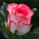 Роза чайно-гибридная Джамиля