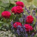 Роза чайно-гибридная графиня Диана