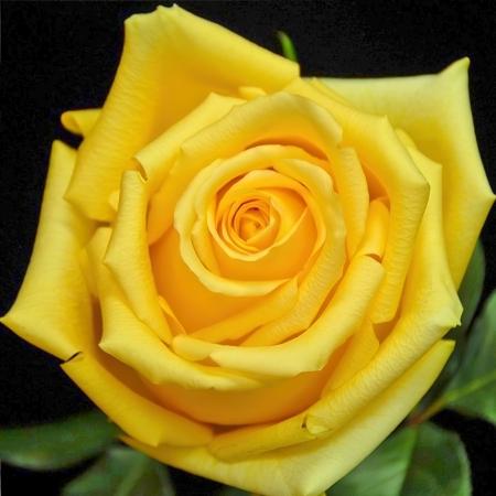 Роза чайно-гибридная Желтый Хаммер