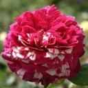 Роза чайно-гибридная Романза