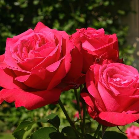Роза чайно-гибридная Алекс Ред