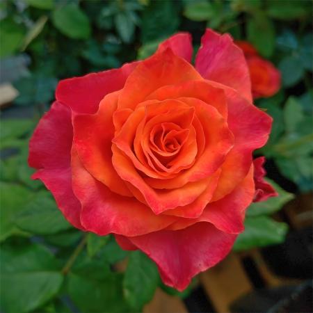 Роза чайно-гибридная Апачи