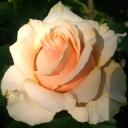 Роза чайно-гибридная Азафран