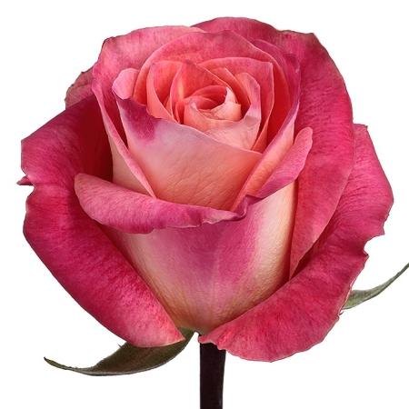 Роза чайно-гибридная Биг Фан