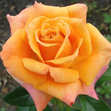 Роза чайно-гибридная Карамба