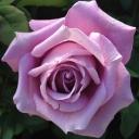 Роза чайно-гибридная Шарль де Голль