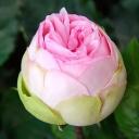 Роза чайно-гибридная Чарминг Пиано