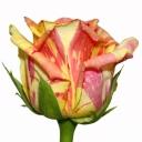 Роза чайно-гибридная Фиеста