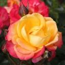 Роза чайно-гибридная Флэминг Стар