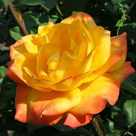 Роза чайно-гибридная Золотой Дракон