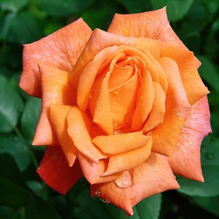 Роза чайно-гибридная Гуд Лайф