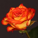 Роза чайно-гибридная Хай Мэджик