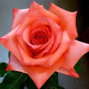 Роза чайно-гибридная Импульс