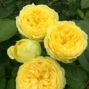 Роза чайно-гибридная Лемон Помпон