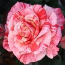 Роза чайно-гибридная Филателия