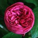 Роза чайно-гибридная Пинк Пиано