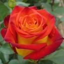 Роза чайно-гибридная Рассела