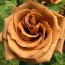 Роза чайно-гибридная Тоффи