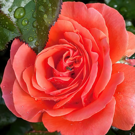 Роза чайно-гибридная Валентина