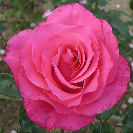 Роза чайно-гибридная Венроза