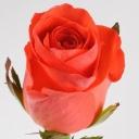 Роза чайно-гибридная Вау