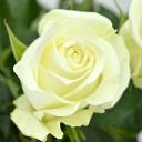 Роза чайно-гибридная Уайт Наоми