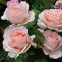 Роза чайно-гибридная Андре ле Нотр