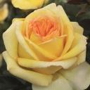 Роза чайно-гибридная Голден Тауэр