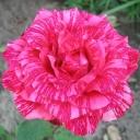 Роза чайно-гибридная Пинк Интуишн