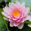 Нимфея или кувшинка, водяная лилия